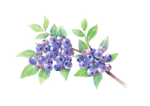 Blueberry branches