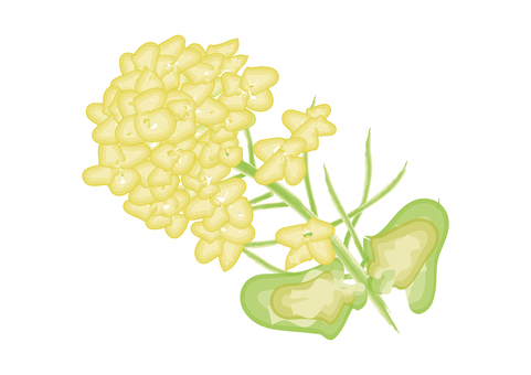 Rough rape blossoms sketch