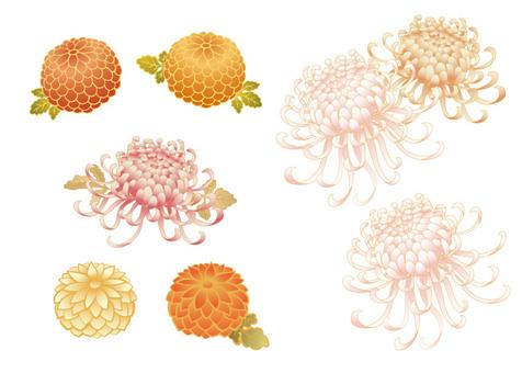 Chrysanthemum set material