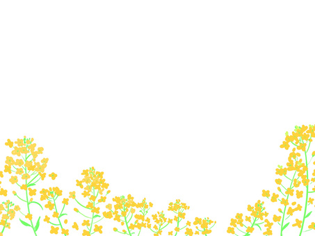 Rapeseed background white