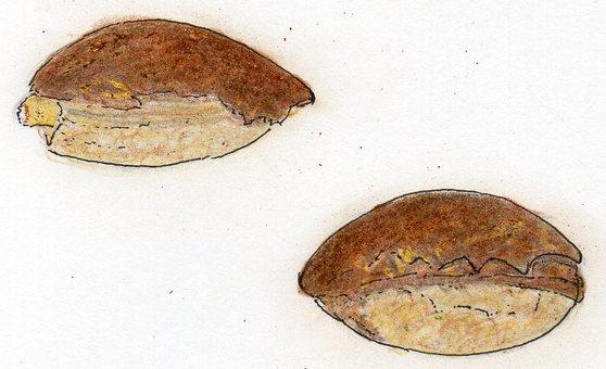Species - Egg fruit