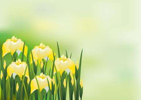 Yellow flower iris 8