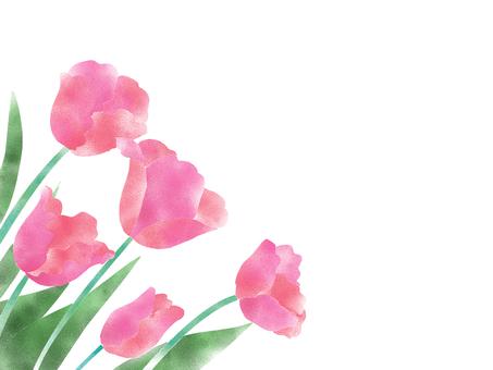 튤립 핑크