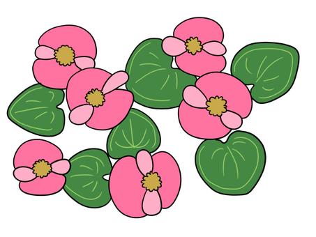 Begonia (Pink)