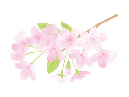 Sakura -16
