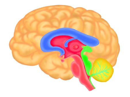 Illustration of brain④