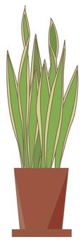 Houseplant Sanseberia