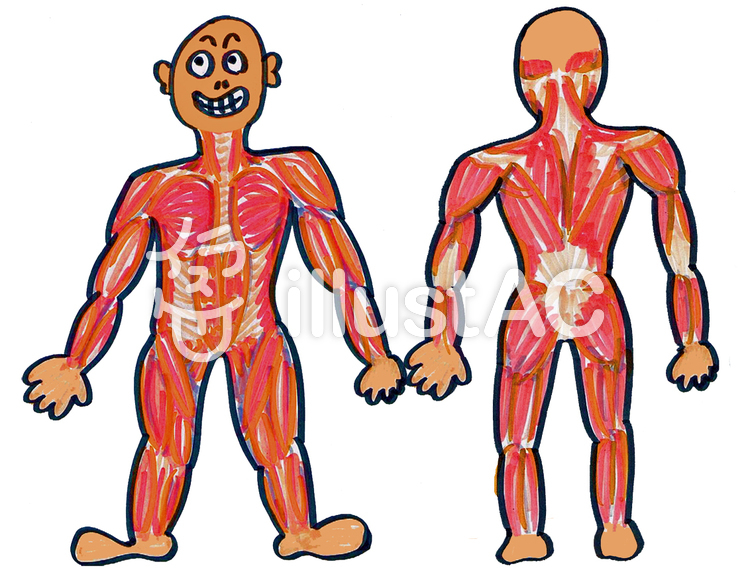 Free Cliparts Body Muscle Human Body 776184 Illustac
