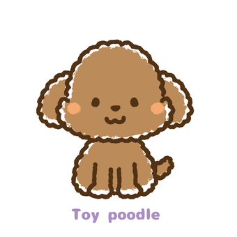 Toy poodle front