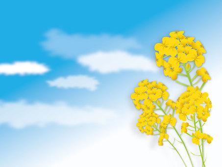 유채 꽃과 하늘