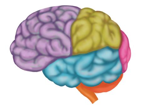 Illustration of brain ③