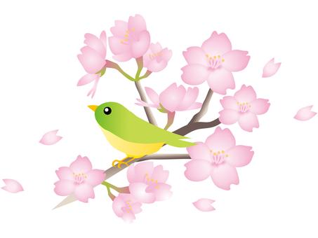 櫻花盛開樹枝鳴叫一隻小鳥