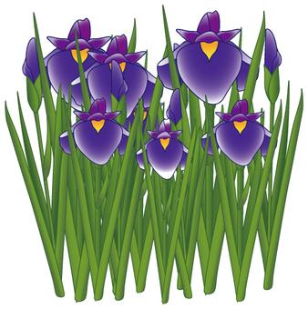 Flower - iris (shoumu) -09