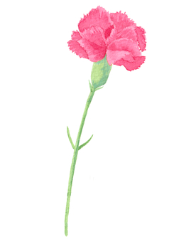 Carnation (Watercolor illustration)