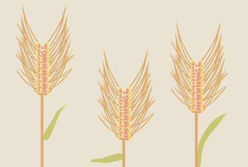 For biscuits with chic illustrations of wheat ears