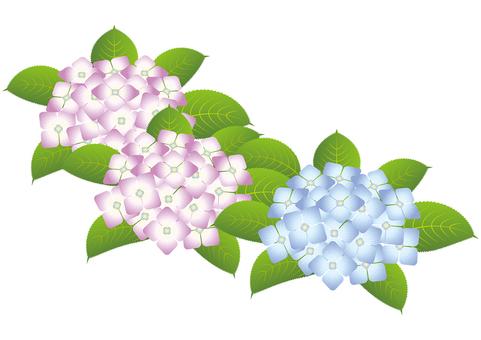 Beautiful hydrangea 10