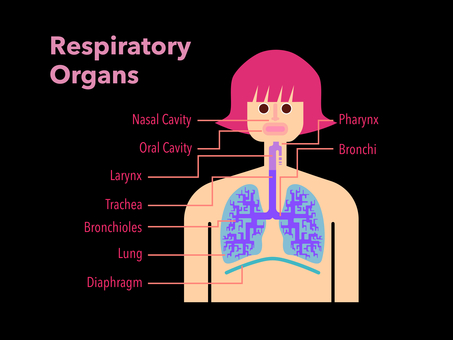 Simple diagram of respiratory organs with English names