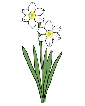 White daffodils
