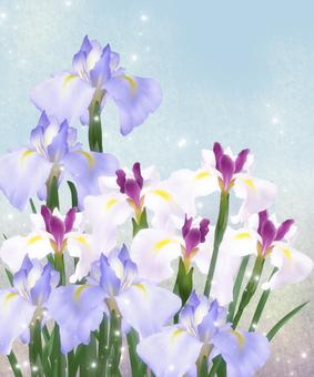 お花・花菖蒲7