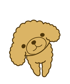 Toy poodle apricot