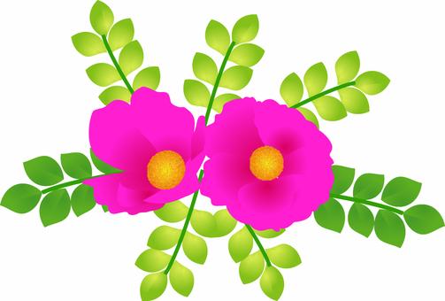 Hermanus flower