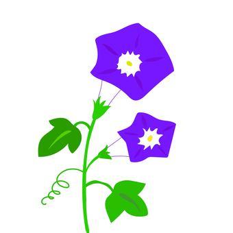 Blue purple morning glory