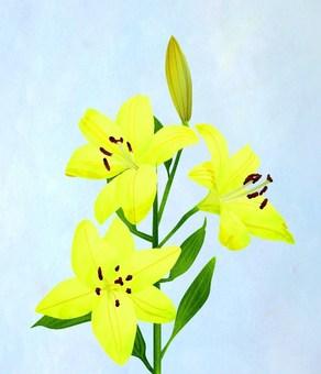 黃色百合花