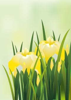 Yellow iris 3
