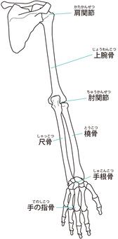 Arm bone (back / right arm)