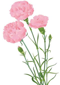 Carnation _ Pink