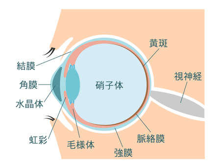 Illustration of the eye (with explanation)