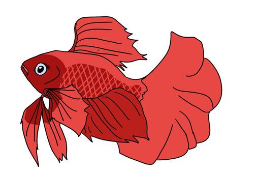 Betta (fish fighting) male