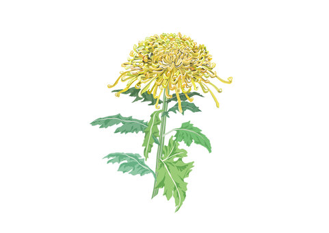 Flower material (chrysanthemum) _1