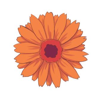 Gerbera orange