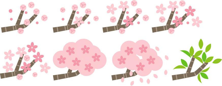 벚꽃의 절정
