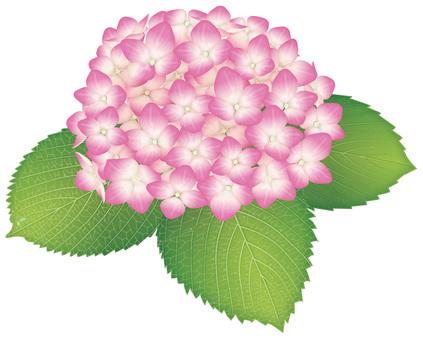 Hydrangea / pink