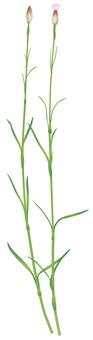 이 누코 떡 나데시코 / 잡초