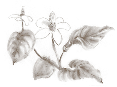 Dokudami flower