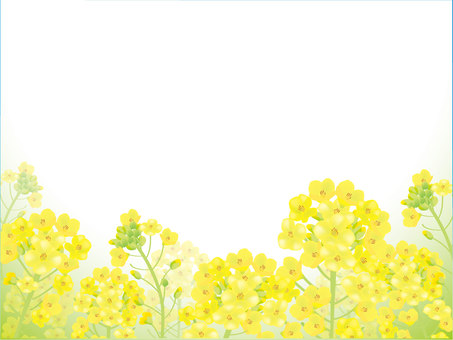 Rape blossom background