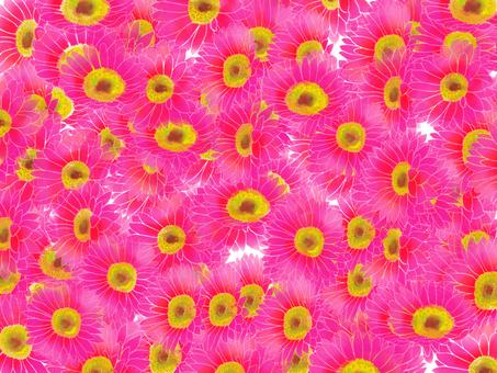 Pink Gerbera Wallpaper