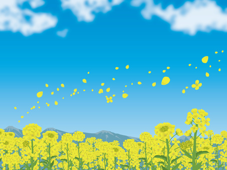 Rape blossoms with one side and background of blue sky 04
