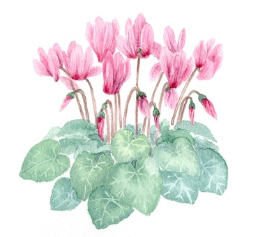Cyclamen drawn with transparent watercolor