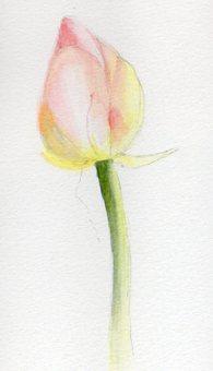 Lotus flower (bud)