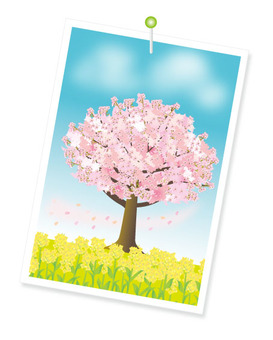 Picture of cherry tree and rape blossoms
