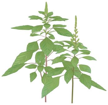 Aobilles / weeds