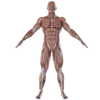 Skeletal muscle front of man