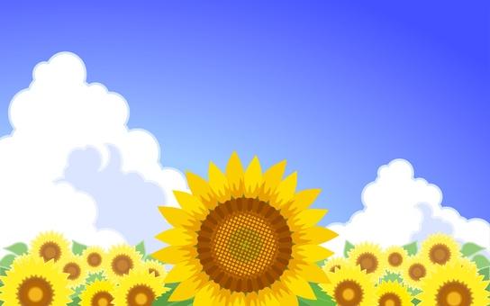 Sunflower - 001